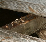 Coniophora puteana – This is the most common form of timber decay in the UK, this was a floor within an entrance hall, note the deterioration of the upper surface of the floor joist supporting the floorboard decking, replacement of the affected timbers was undertaken along with the eradication of the moisture source responsible.
